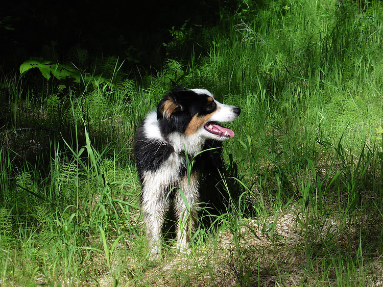 Images of Australian  Shepherd, Molly Montana, enjoying life at her Montana ranch. Life is good in Montana
