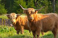 Bull Hairy Highland longhorn cattle. Brown Smaland region. Sweden, Europe.