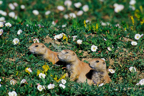 Mi752  Black-tailed Prairie Dogs