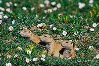Mi752  Black-tailed Prairie Dogs