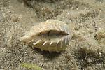 Clam, Chione cancellata, live shell