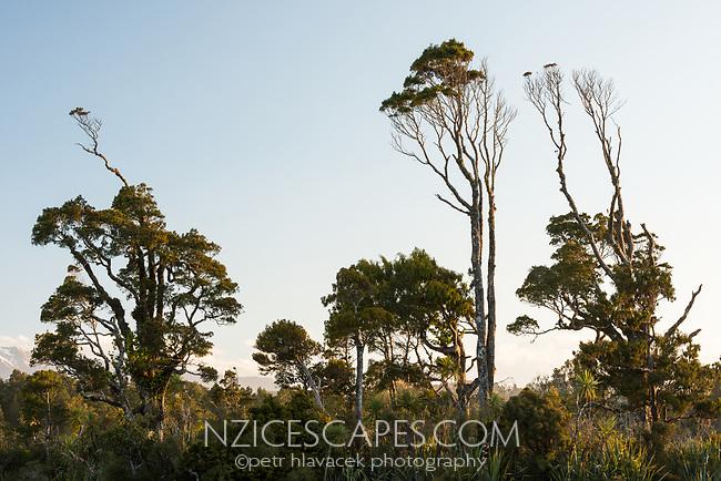 Coastal native forest at Gillespies Lagoon, Westland Tai Poutini National Park, South Westland, UNESCO World Heritage Area, New Zealand, NZ