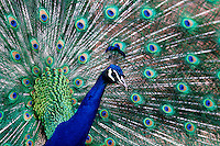 Peacock and Denver, Colorado, zoo.