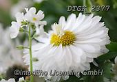 Gisela, FLOWERS, BLUMEN, FLORES, photos+++++,DTGK2377,#f#, EVERYDAY ,portrait