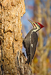 Pileated Woodpecker in dead tree