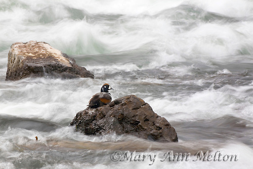 Harlequin Duck, Histrionicus histrionicus, Yellowstone River, Yellowstone National Park