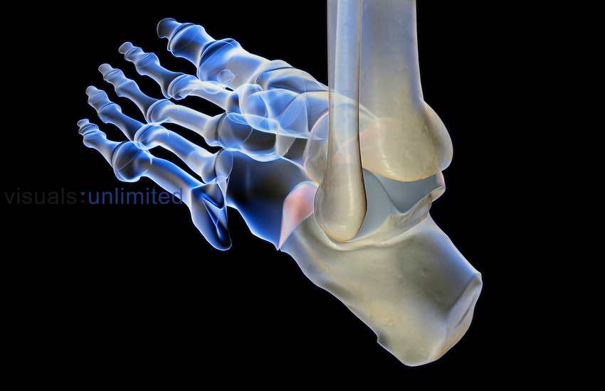 A posterolateral view of the bones of the left foot. Royalty Free