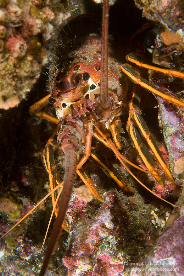 San Clemente Island, Channel Islands, California; a California Rock Lobster (Panulirus interruptus) pokes it's head out of an opening in the rocky reef