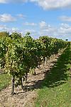Vignes dans le pays Loire-Aubance, au sud d'Angers (49).