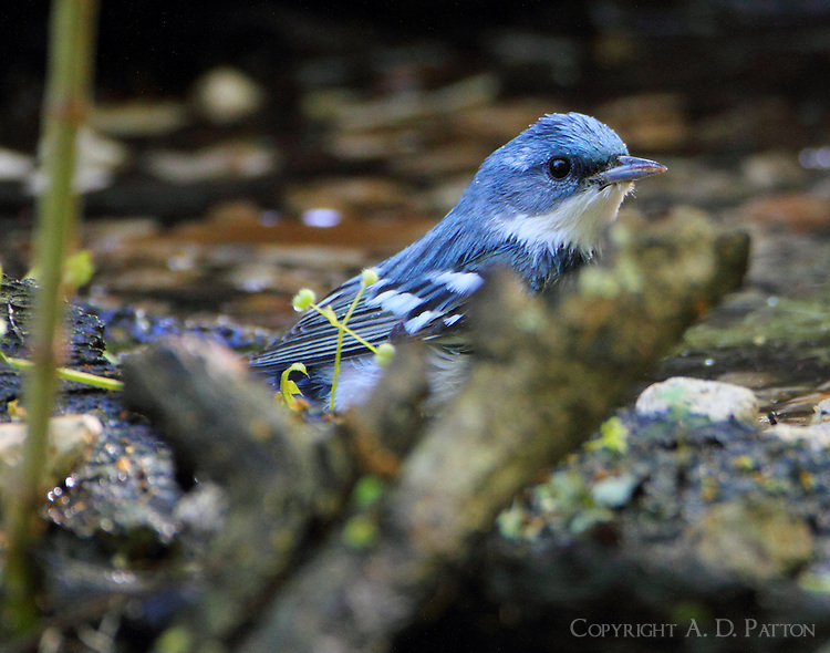 Male cerulean warbler bathing