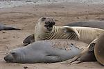 Molting elephant seals