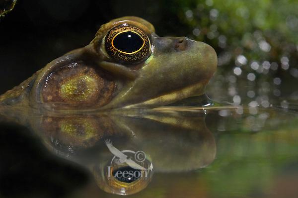 GREEN FROG. Male eardrum is larger than eye..Nova Scotia. Canada..Rana clamitans melanota.