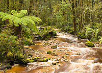 Stream through native forest in Oparara Valley near Karamea, Kahurangi National Park, Buller Region, West Coast, New Zealand, NZ