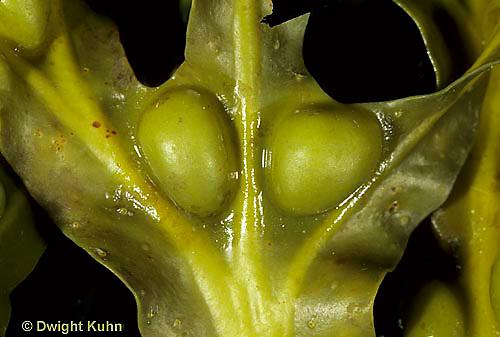 PX06-002a  Brown  Algae - Rockweed, marine - Fucus vesiculosus