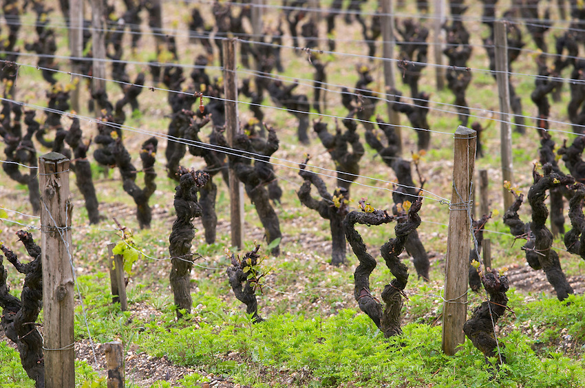semillon gobelet pallise old vine vineyard chateau d'yquem sauternes bordeaux france
