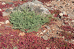 Tough Shrub, Traganum moquinii, & Red Succulent Plant, Los Molinos, Fuerteventura, Canary Islands, Spain, Chenopodiaceae family. protected species
