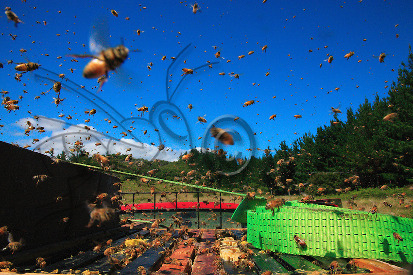In indescribable chaos, the bees fly like mad around the freshly harvested honey supers. The harvest is taking place without a smoker: it has to be done quickly to avoid the pillaging of the honey by the bees, that honey madness that can make the men's work very difficult.