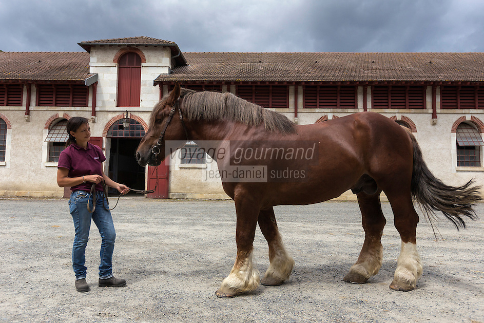 France, Aquitaine, Pyrénées-Atlantiques, Béarn, Pau: Haras National de Gelos  - Présentation d'un étalon,  Quesaco Dahaut , Cheval de Trait Breton //  France, Pyrenees Atlantiques, Bearn, Pau, National stud farms of Pau Gelos: Quesaco Dahaut ,  stallion, draft horse <br /> [Autorisation N° : 2014-162]