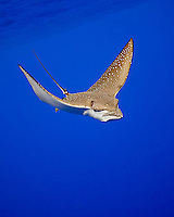 A spotted eagle ray, Aetobatus narinari, Kona Coast, Big Island.