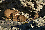 Mountain Lion (Puma concolor) mother and six month old cubs in shelter of calcium deposits, Sarmiento Lake, Torres del Paine National Park, Patagonia, Chile