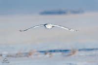 Snowy Owl (Bubo scandiacus) hovers silently over the snowy field.  Alberta, Canada.