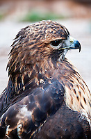 Red tailed hawk, Buteo jamaicensis