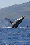 Breaching Humpback Whale off the coast of Maui