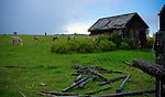 Idaho, North, Moscow. Horses graze in a spring pasture beside a rustic outbuilding after a clearing storm.