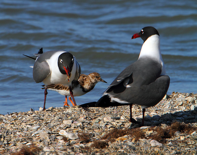 Pair of Laughing gulls in breeding plumage in March. One is eating a small crab while a ruddy turnstone looks on.
