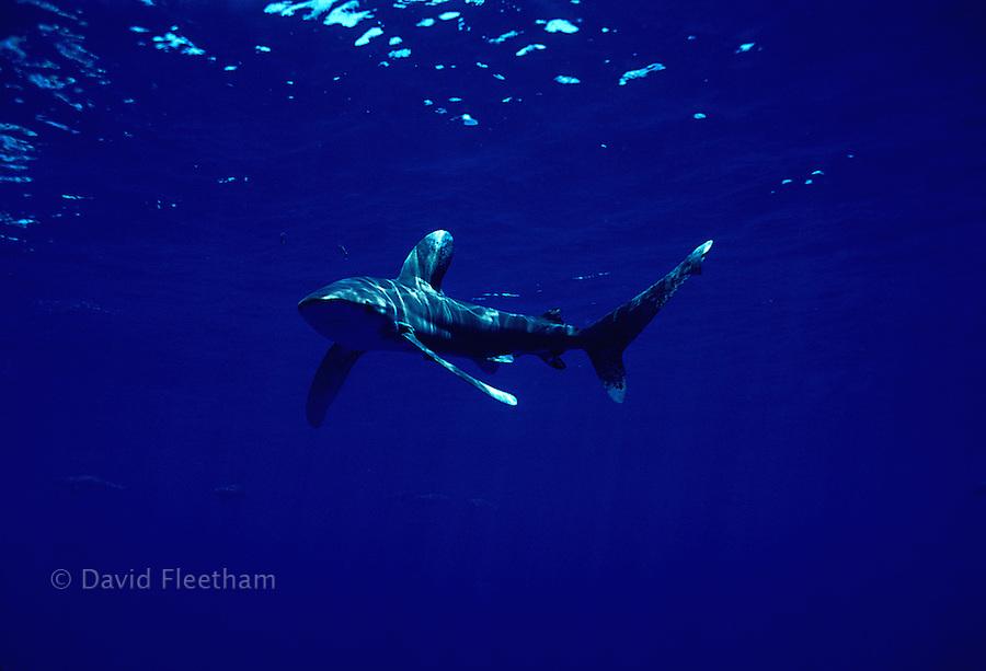 "This Oceanic whitetip shark, Carcharhinus longimanus, is displaying the ""classic"" pectoral fin warning display.  Hawaii."
