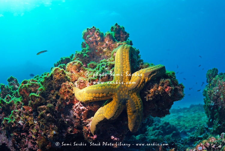 Yellow sea star on a rock, underwater view, Ecuador, Galapagos Archipelago, Espanola Island