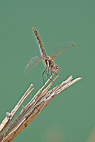 362800013 a wild female variegated meadowhawk sympetrum corruptum perches on a dead stick along the colorado river in lake havasu national wildlife refuge arizona united states