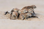 Ground squirrels, Xerus inauris, at burrow, Kgalagadi Trandfrontier Park, Northern Cape, South Africa