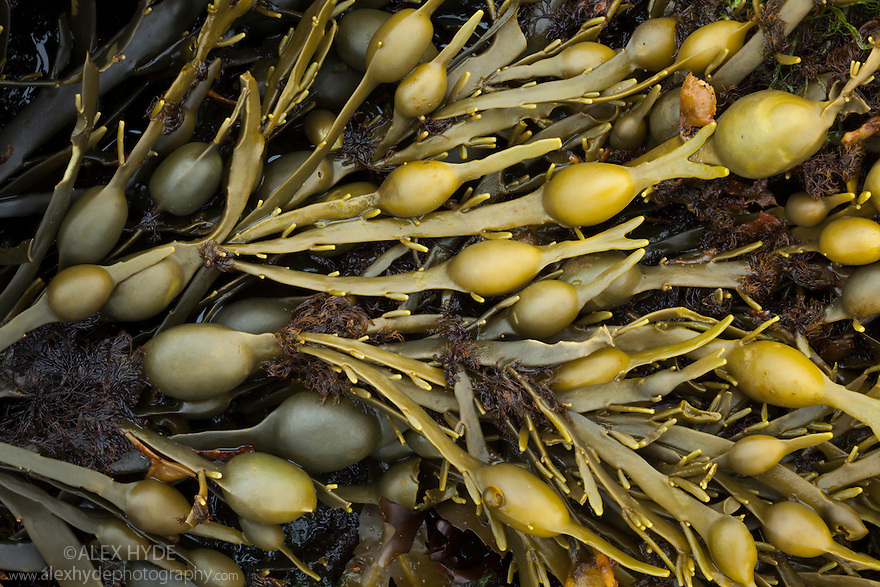 Knotted / Egg Wrack seaweed {Ascophyllum nodosum} growing in middle shore zone, exposed at low tide. Isle of Mull, Scotland, UK. June.