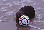 sea otter with soccer ball at Pescadero State Beach