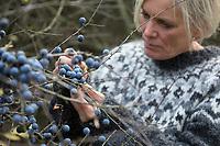 Schlehenernte, Schlehen-Ernte, Ernte von Schlehenfrüchten, Frucht, Früchte, Schlehenbeeren, Schlehe, Schlehen, Gewöhnliche Schlehe, Schwarzdorn, Prunus spinosa, Blackthorn, Sloe, fruit, Epine noire, Prunellier