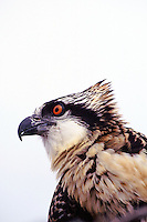 A young osprey, newly fledged, in its nest. Photographed following banding near Back Bay National Wildlife Refuge, Virginia.