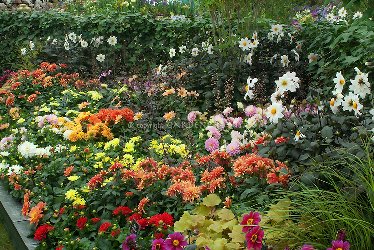 Variety of dahlias growing