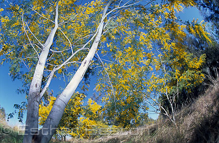 Glory Wattle (Acacia spectabilis) whole tree. Near Forbes, New South Wales. Edible flowers.