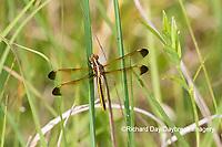 06618-00219 Yellow-sided Skimmer (Libellula flavida) female Cottonmouth Fen Ripley Co. MO
