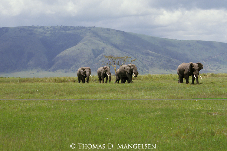 African elephants walk in a line in Kenya.