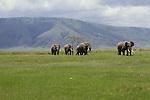 African elephants walk in a line in Kenya.