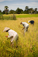 Local farmers harvesting rice along Mekong River in southern Laos