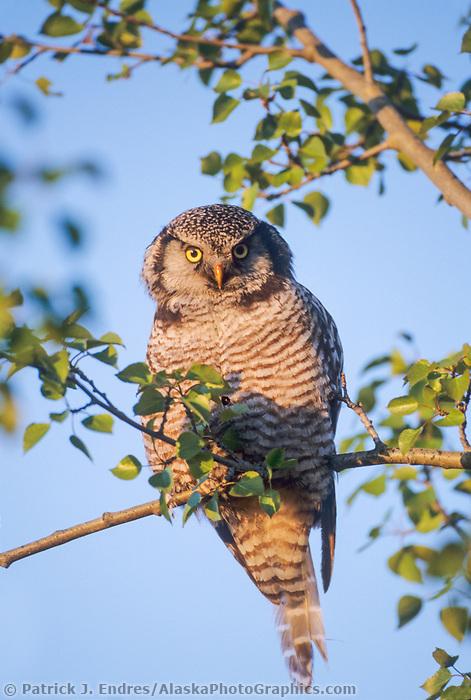 Northern Hawk owl perched in a tree, Delta Junction, Alaska.