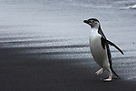 A chinstrap penguin walks across a Deception Island beach at Bailey Head on the Antarctic Peninsula.