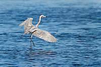 Reddish Egret displaying feeding behavior, running with wings spread