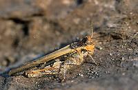 Insubrische Ödlandschrecke, Weibchen, Acrotylus insubricus, Band-Winged Grasshopper, female, L'Oedipode milanais