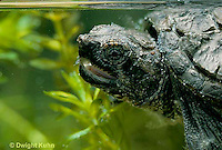 1R05-021z  Snapping Turtle - two year old swimming - Chelydra serpentina
