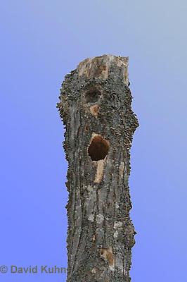 1228-07ww  Pileated Woodpecker Nest Hole - Hylatomus pileatus - © David Kuhn/Dwight Kuhn Photography.