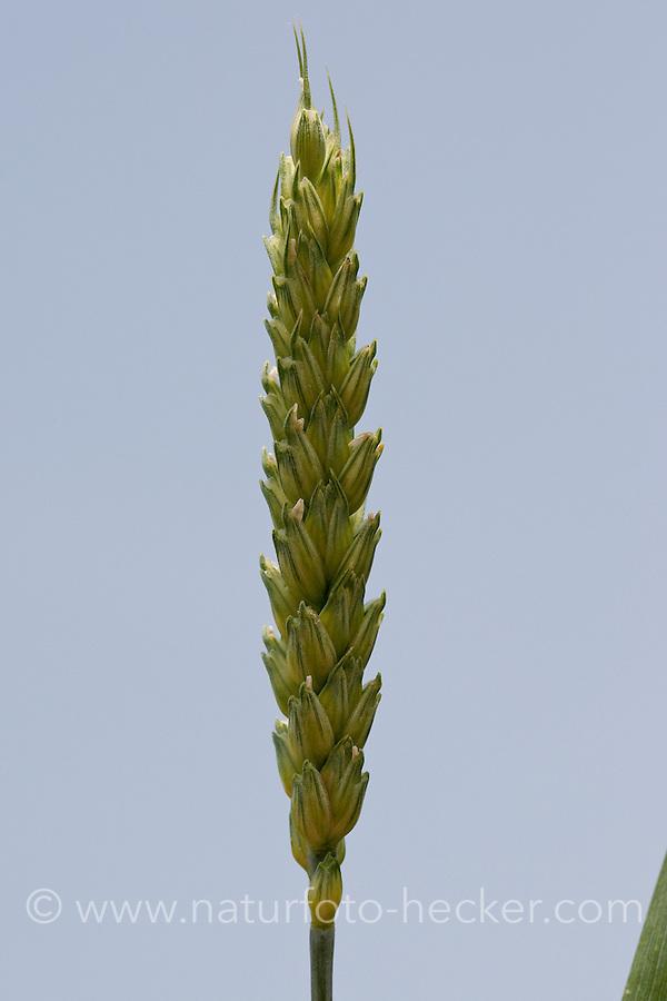 Weizen, Saat-Weizen, Ähre, Saatweizen, Weizenanbau, Weizenfeld, Acker, Triticum aestivum, Wheat